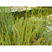 Myriophillium Crispata